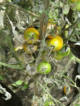 tomato-608290-340.jpg